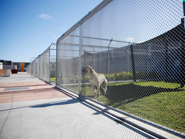large dog at the mickleham quarantine facility in Australia