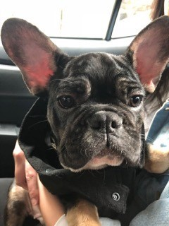 Shipping french bulldog to Indonesia