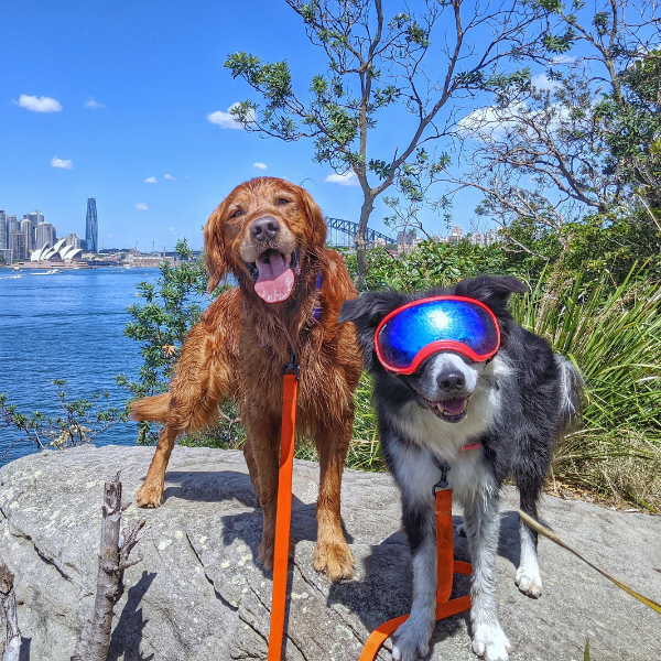 two dogs moved to australia