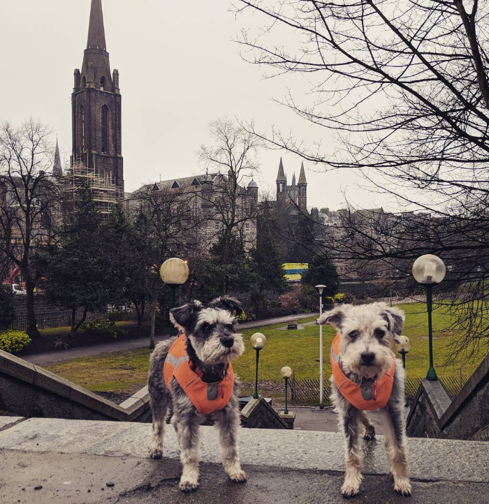 two schnauzers PetRelocation shipped to the UK