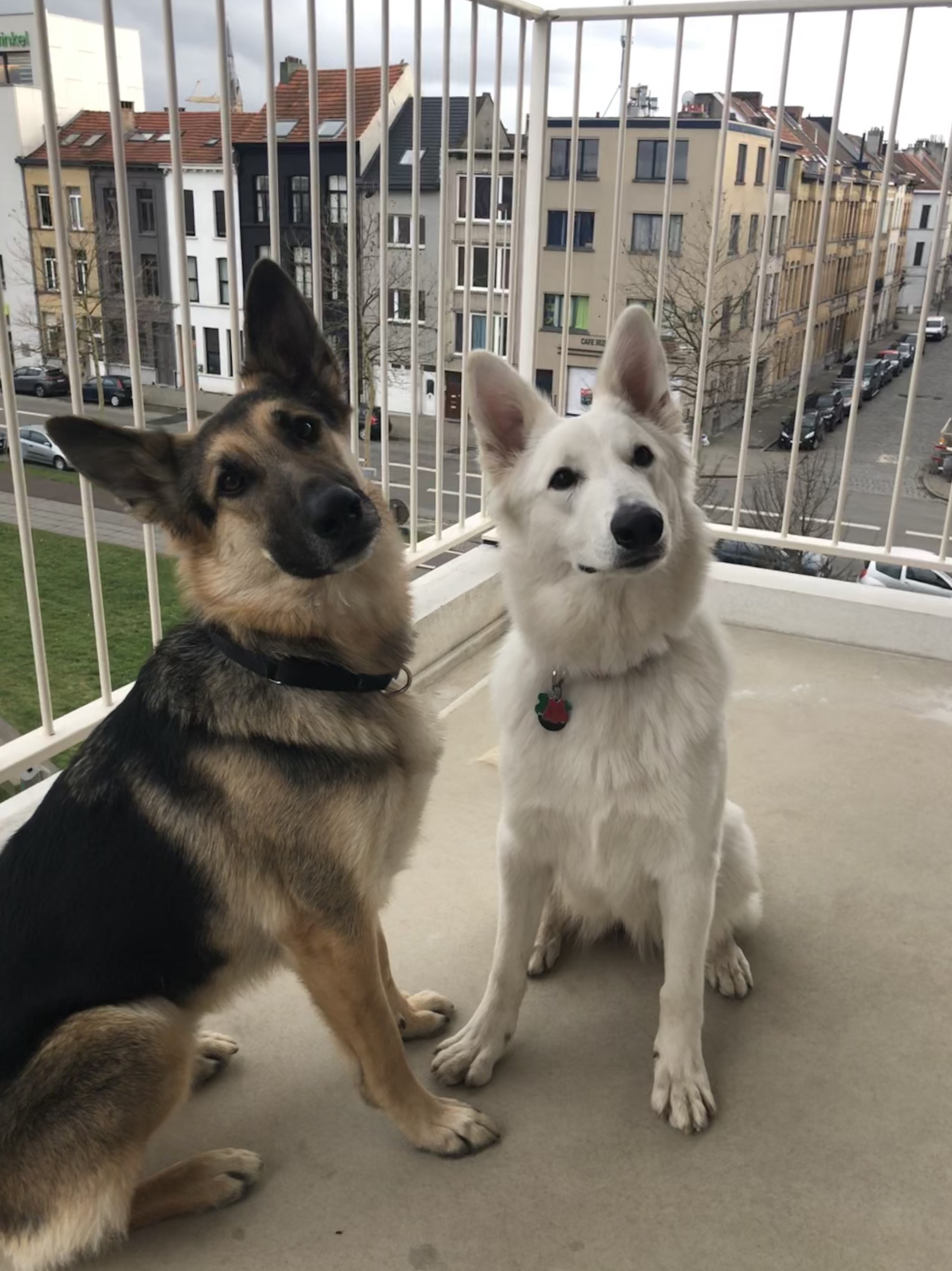 moving german shepherd to Belgium