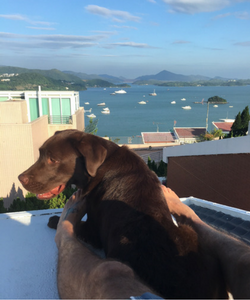 Dog in new home after relocation to hong kong