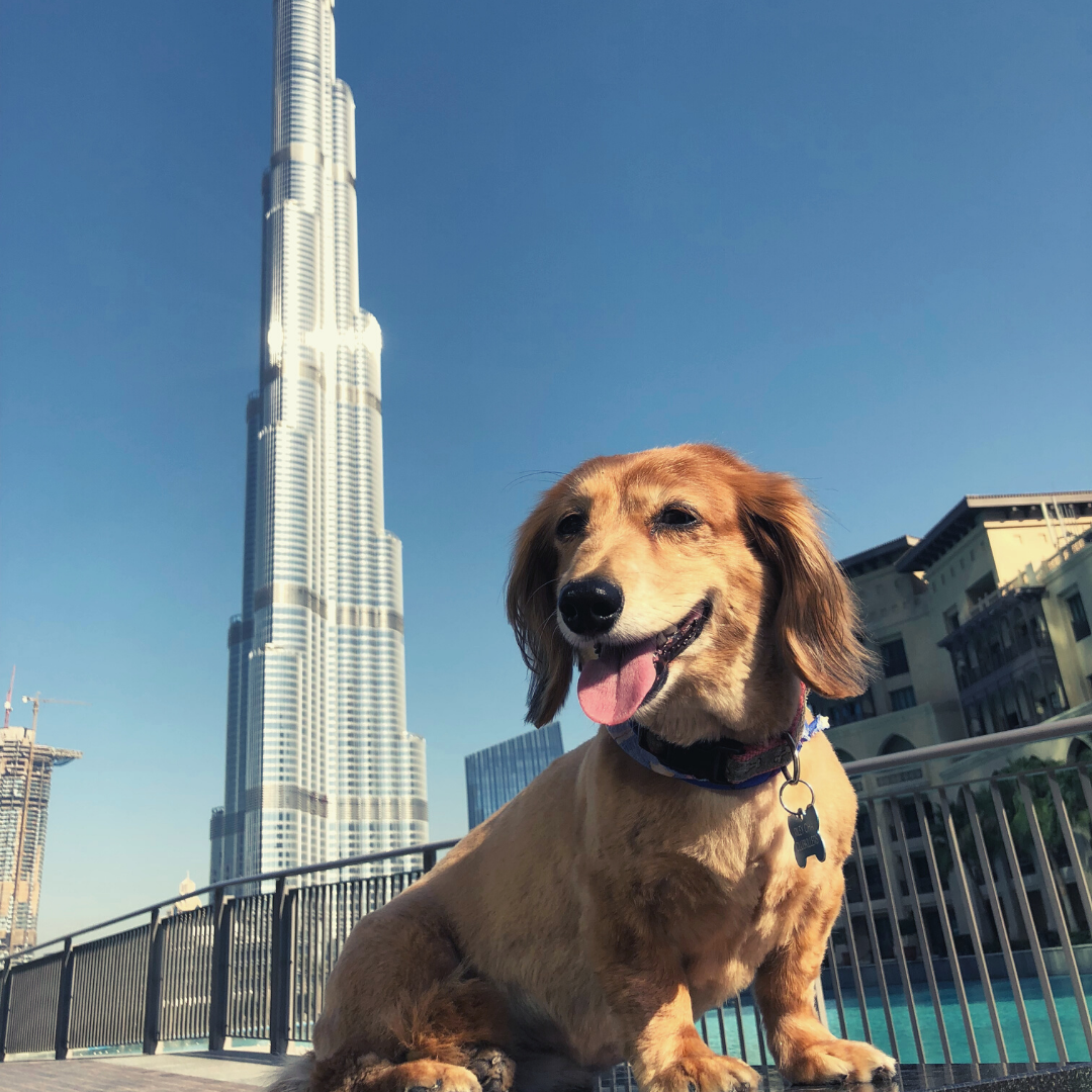 dachshund mix dog moves to dubai