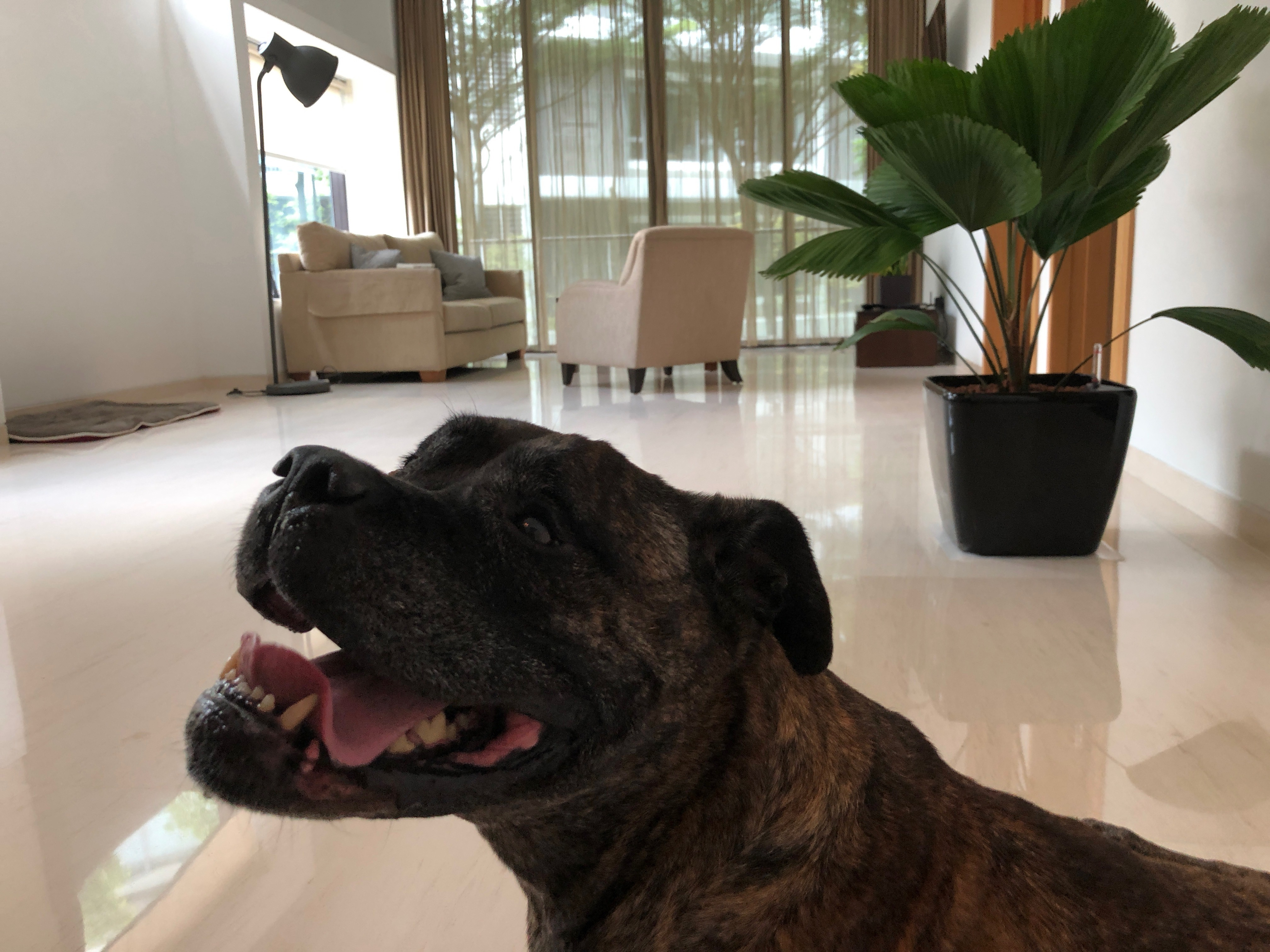 large dog shipped to Singapore in new home