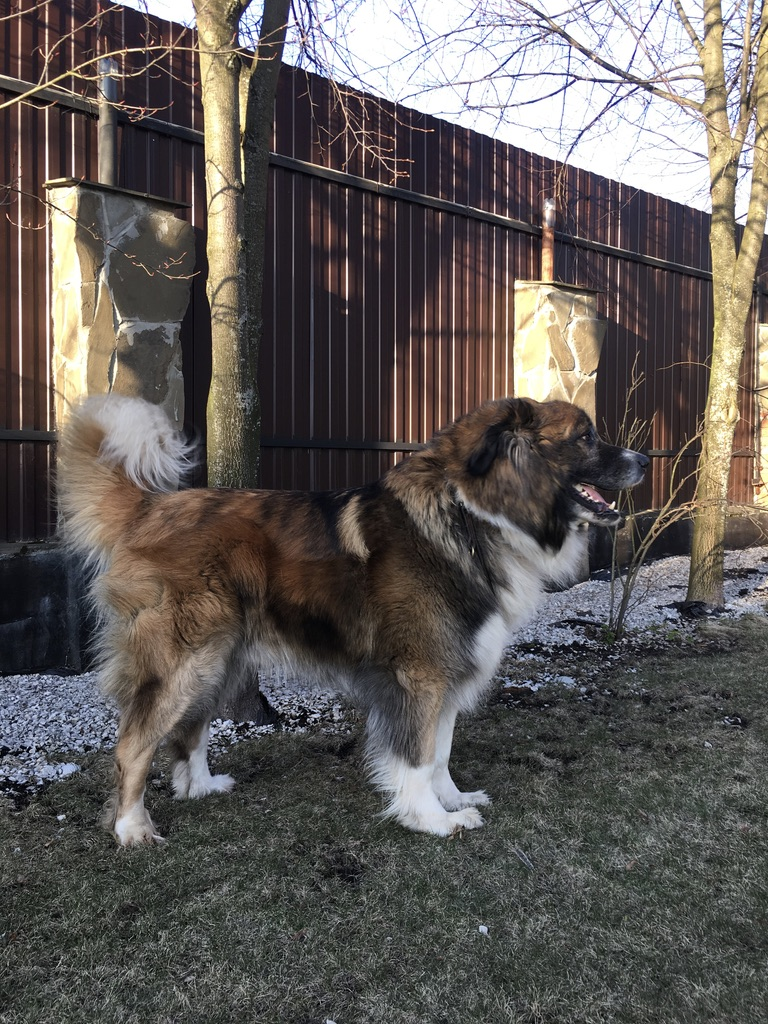 Large mixed breed dog moving from Russia to Japan