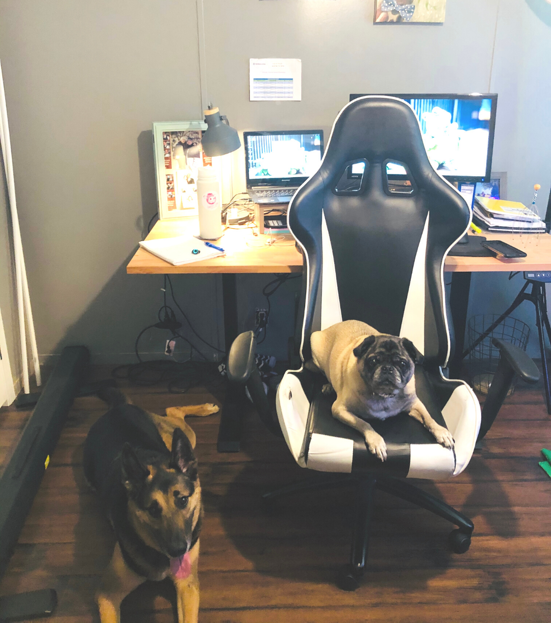 Pug and German shepherd help their mom, petrelocation consultant Kathy, work from home