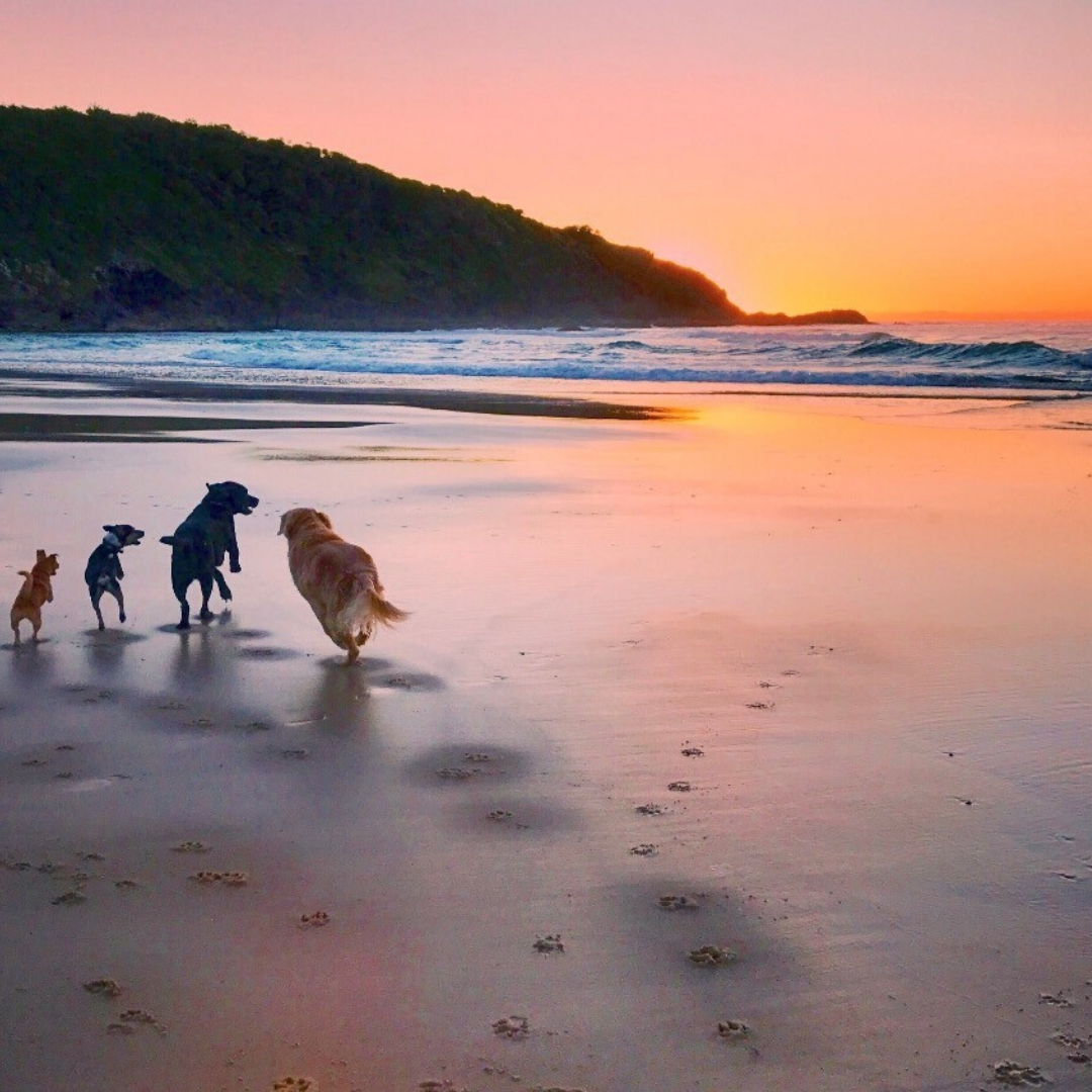 four dogs on the beach in australia