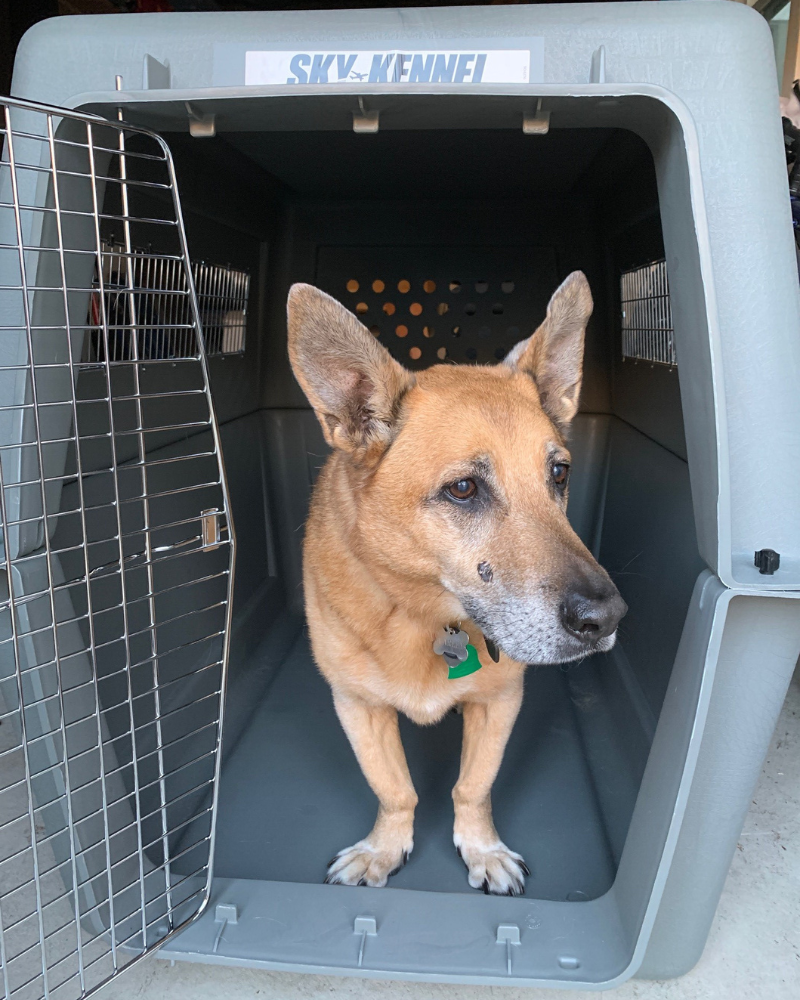 large dog in travel crate