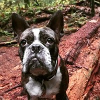 Boston terrier in the woods