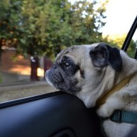 Pug looking out a car window