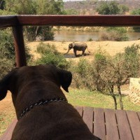 Dog watching Elephant