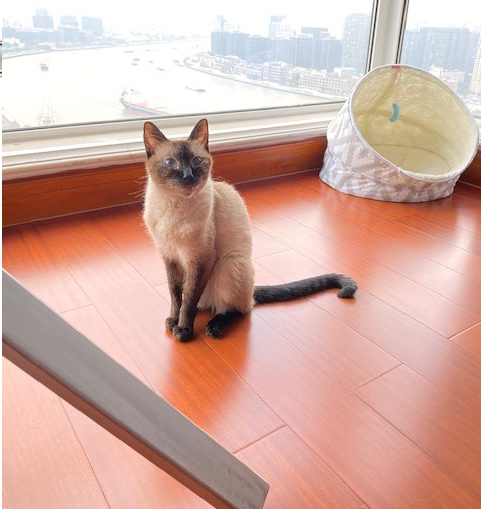 Siamese cat relocates to China