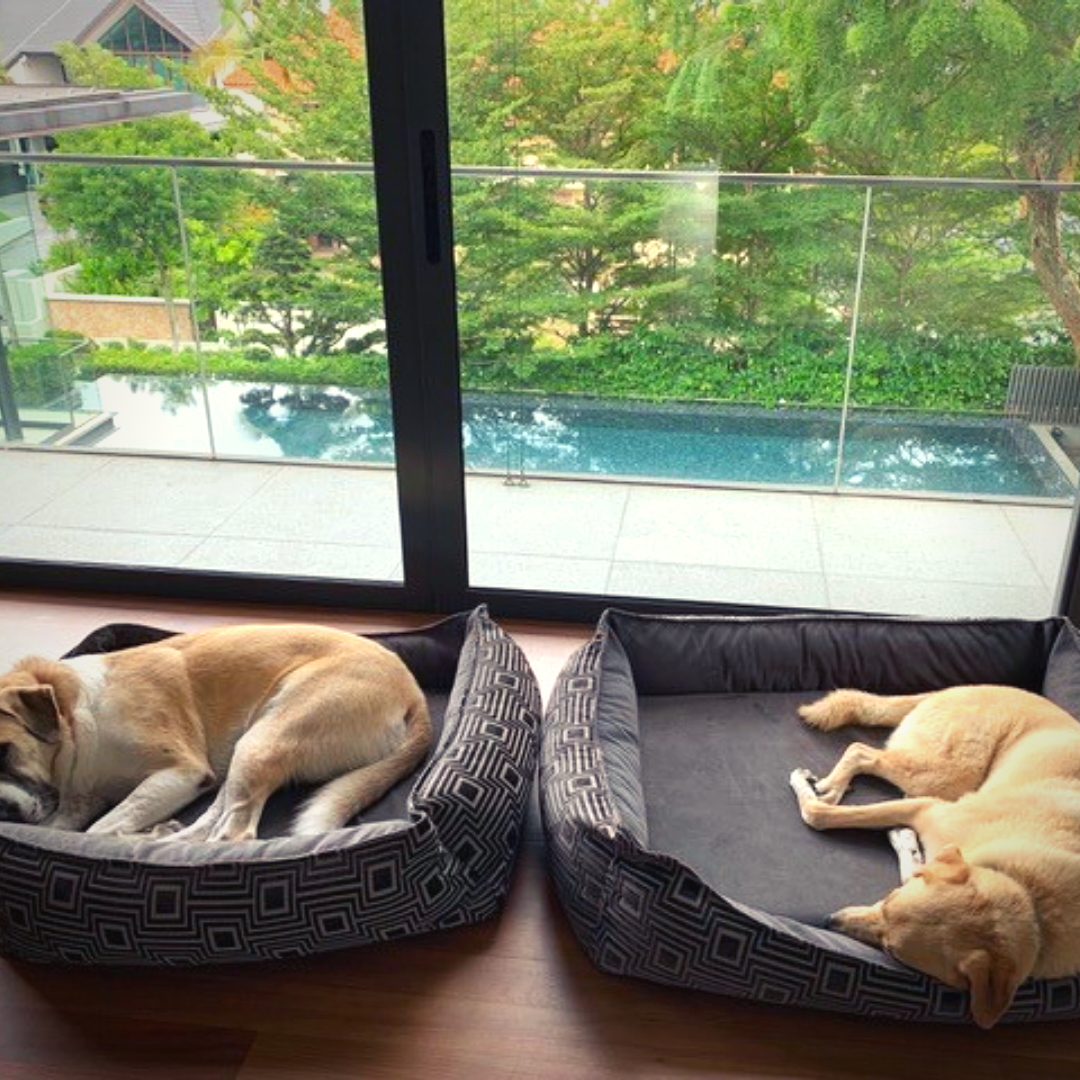 Two large dogs relaxing after a relocation