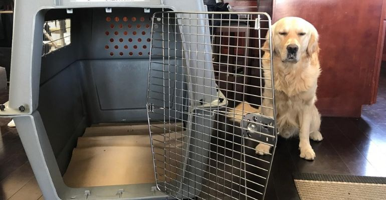 yellow lab next to travel kennel