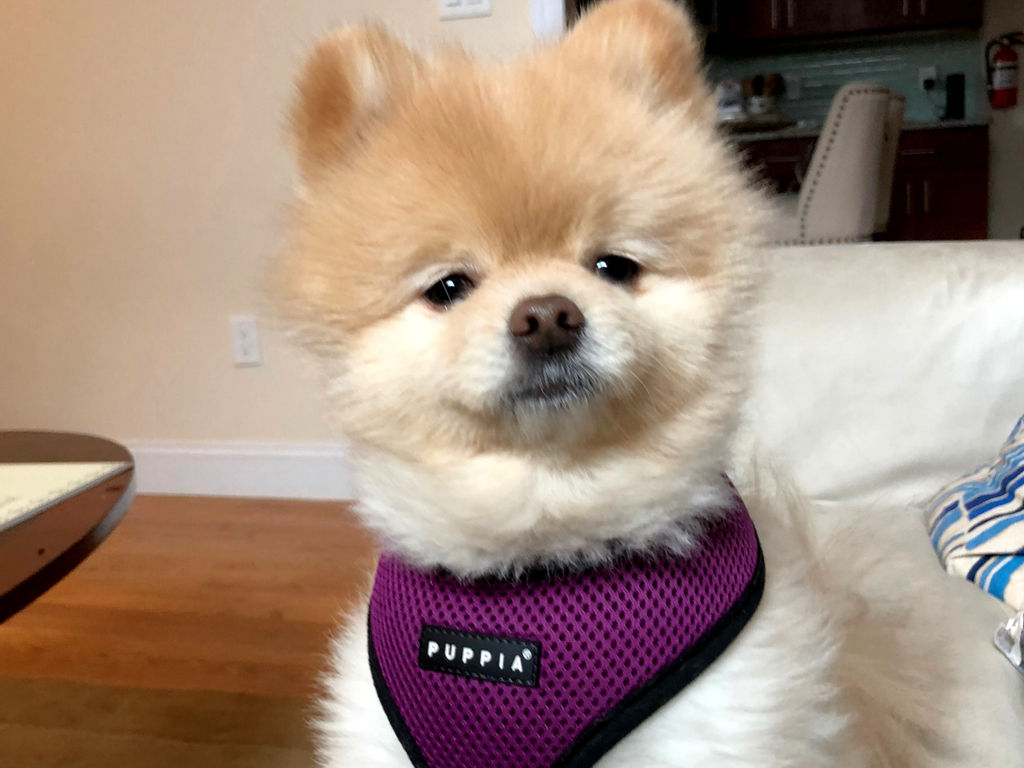 pomeranian moves from US to England