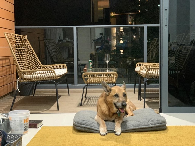 Large dog Marley moved to Singapore