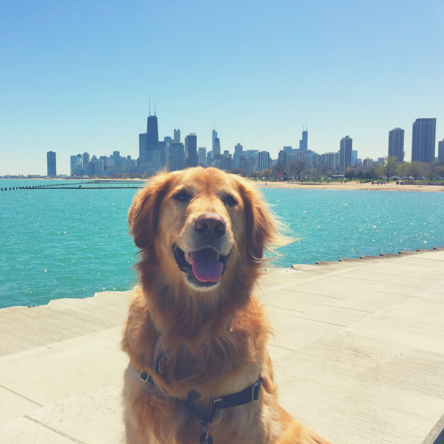 Transporting Pets During Summer - Golden Retriever in Chicago