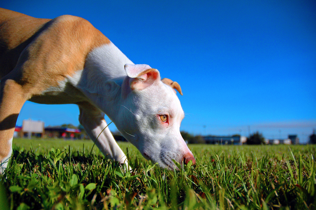 Pit Bulls and Breed Specific Legislation
