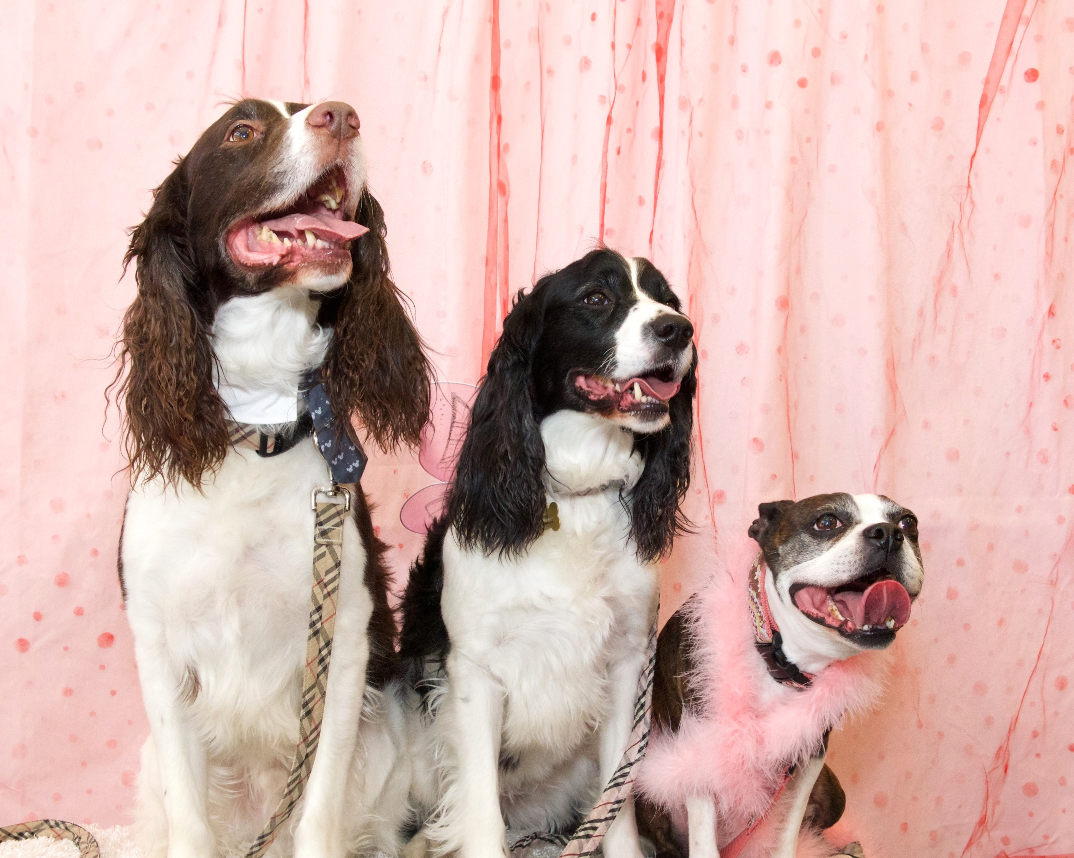 Ashley's dogs George, Riley and Aston - Valentine Photo Shoot benefiting Mid-America Boston Terrier Rescue