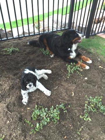 Bernese mountain dog needs custom kennel to move to US