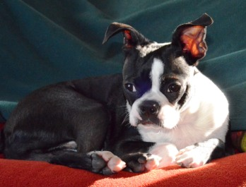 simon the boston terrier
