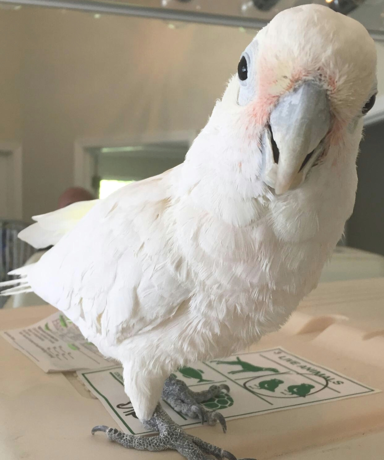 buster the cockatoo