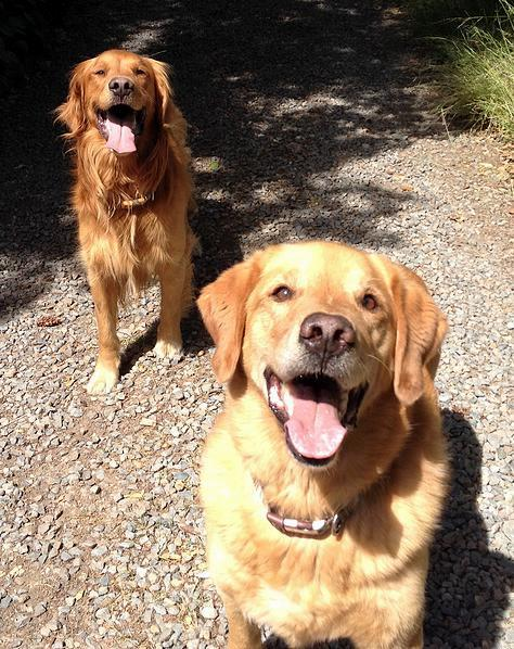 diego & zeke golden retrievers