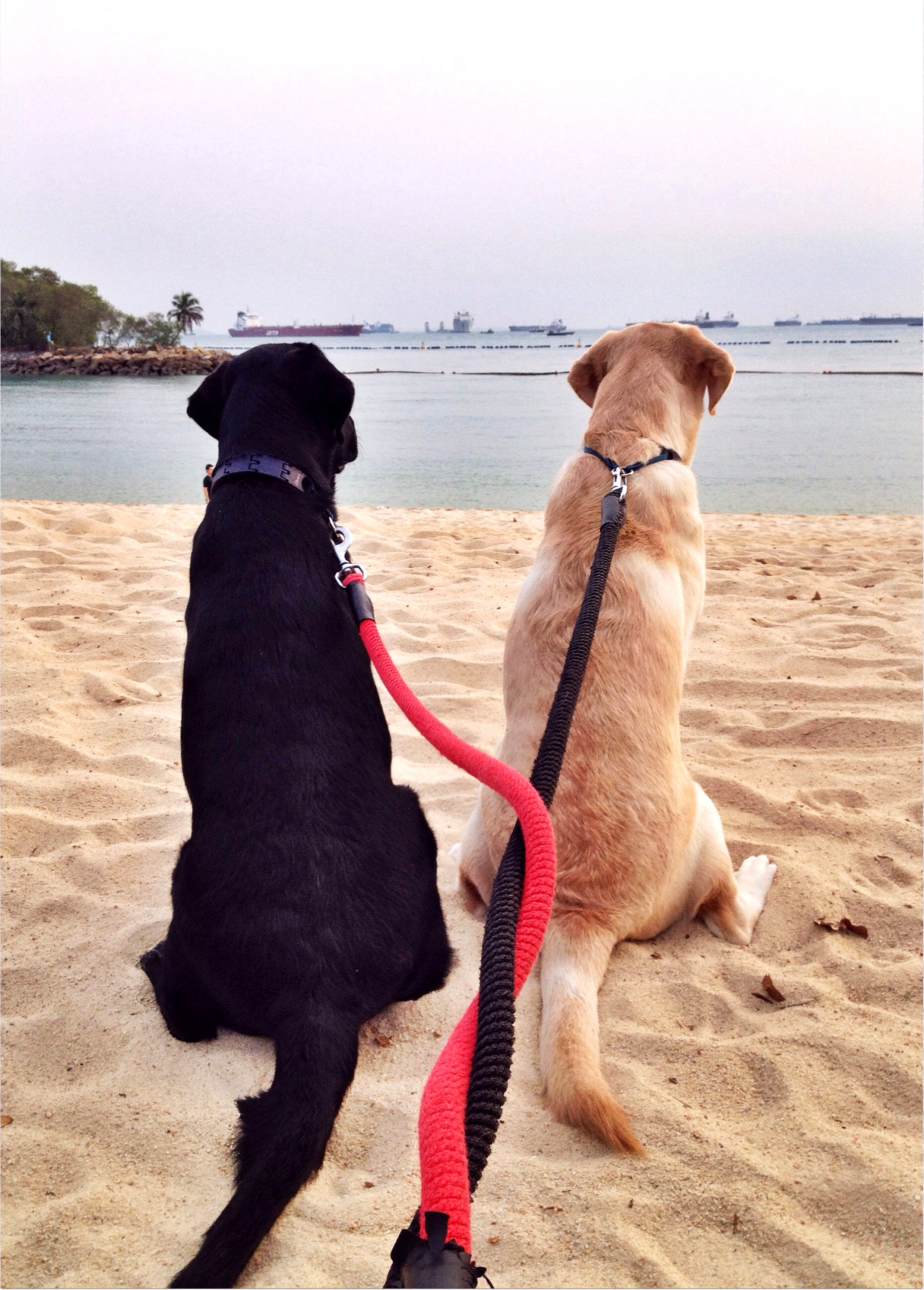 Dog Travel Story: Luke and Leia's Relocation to Singapore