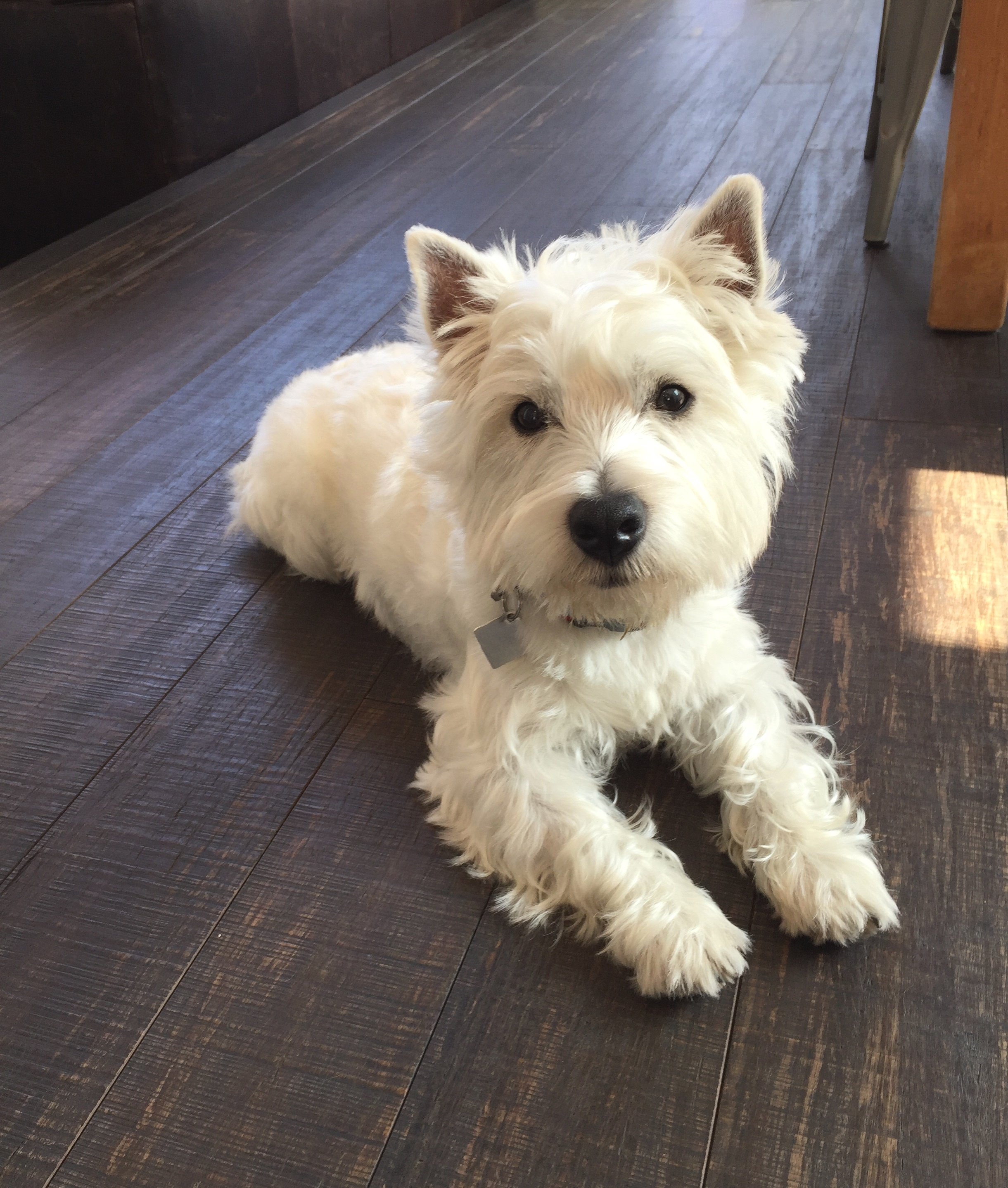 maverick west highland white terrier