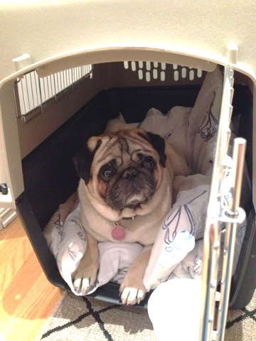 pug in travel kennel