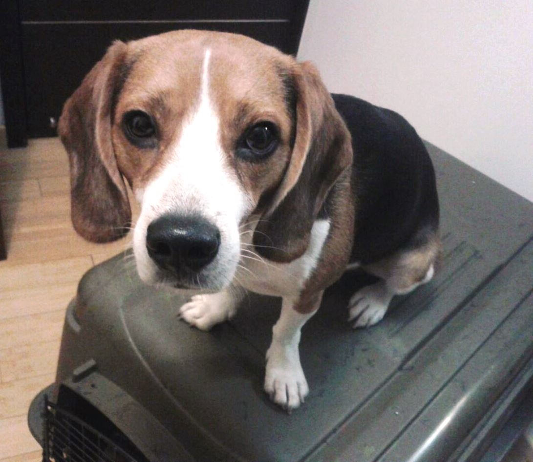 Dog Air Travel: Cargo Or Checked Baggage?