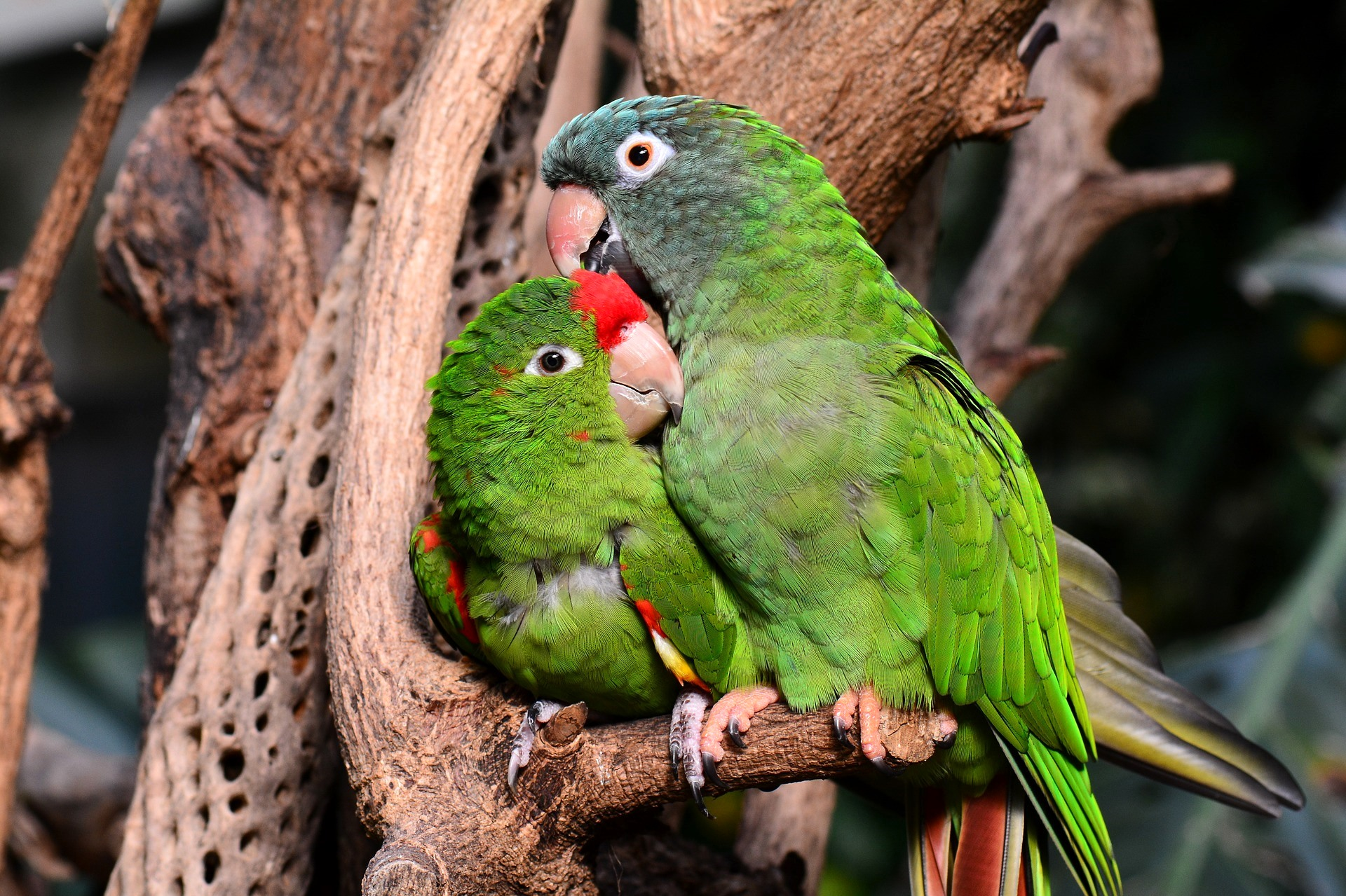 Pet Parrot Travel To Canada Petrelocation