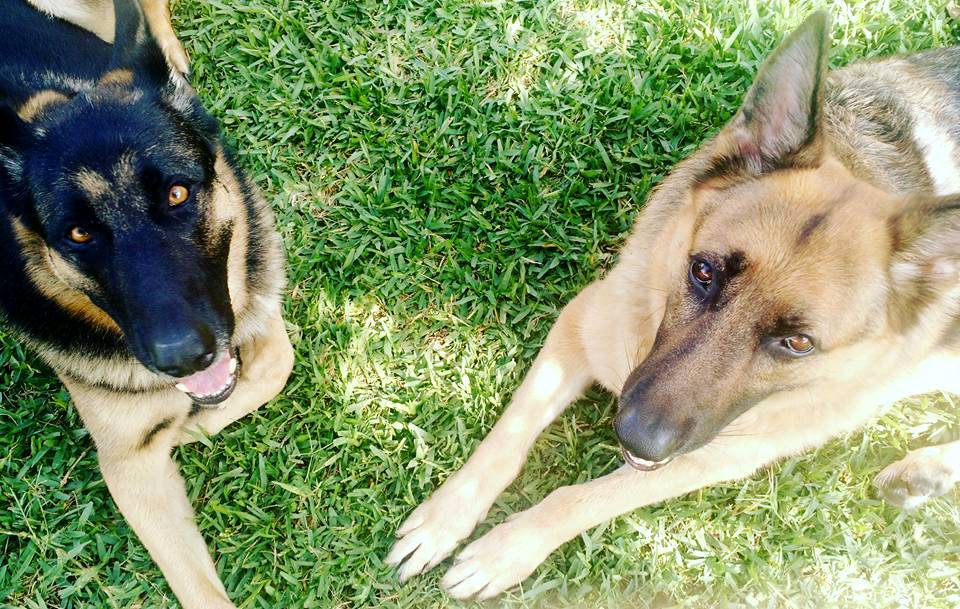 sandhya's german shepherds