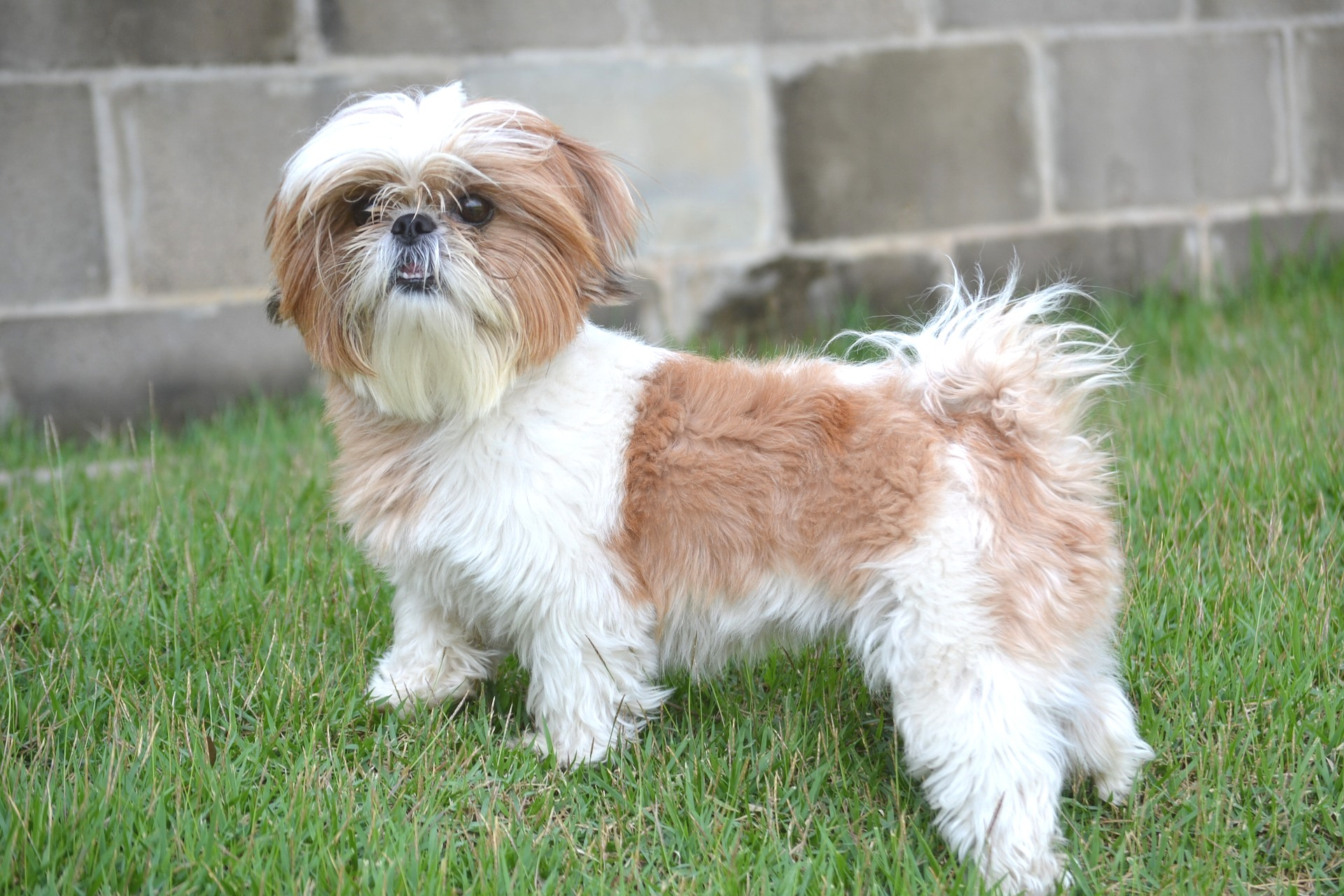 International Travel With A Shih Tzu Petrelocation