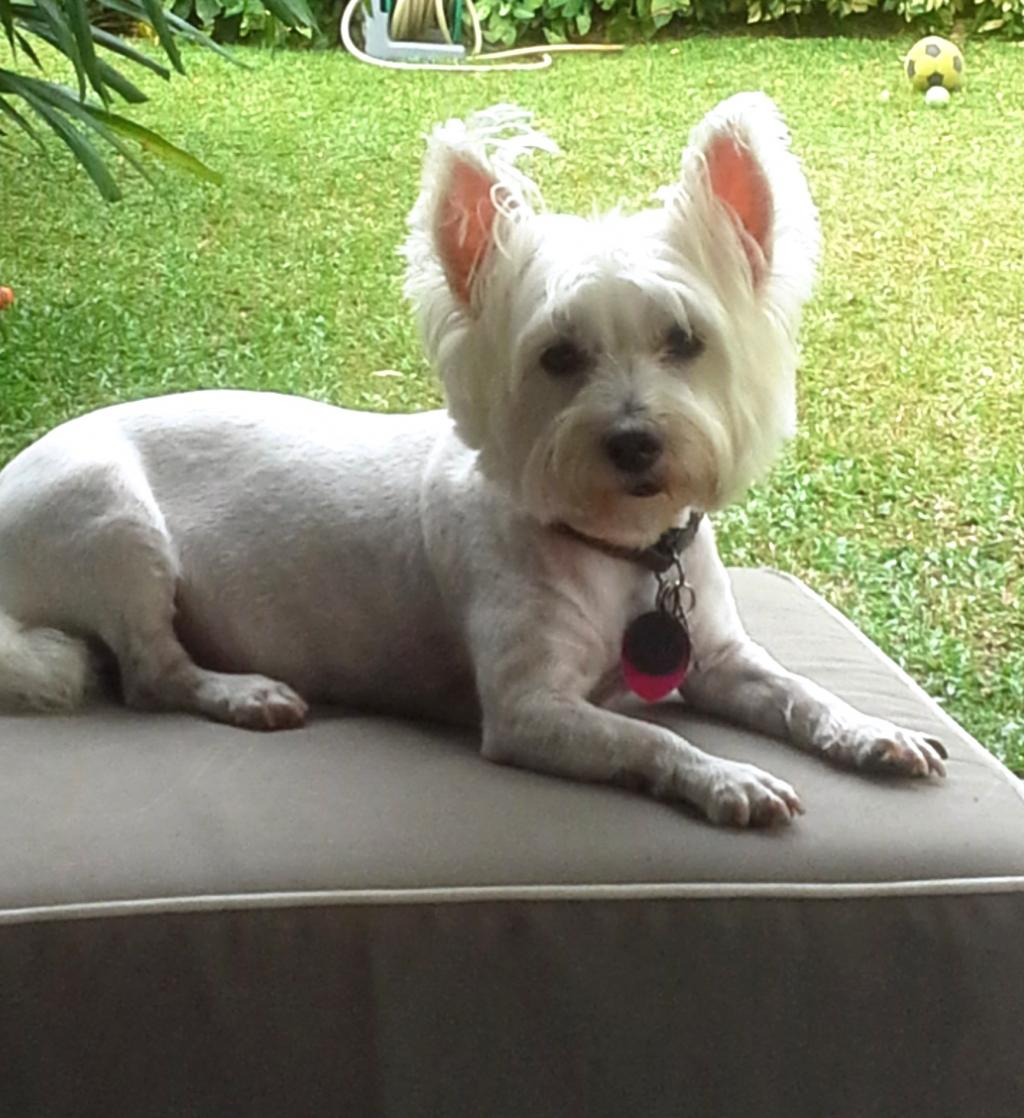 West highland terrier shipped to Singapore